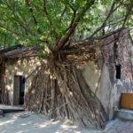 ガジュマルの幹が壁を這い上がり、葉が屋根を覆いつくす「安平樹屋」