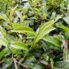 鹿鳴 芸術茶園は20ヘクタールもの広大な面積をもつ!